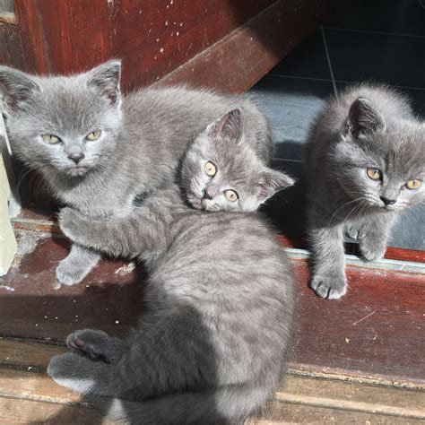 shorthair kittens for sale blue shorthair kittens for sale bournemouth