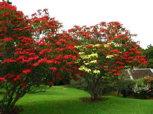 the real quot christams tree quot with red and yellow poinsettia
