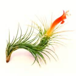 air plants funkiana air plants tillandsia funkiana