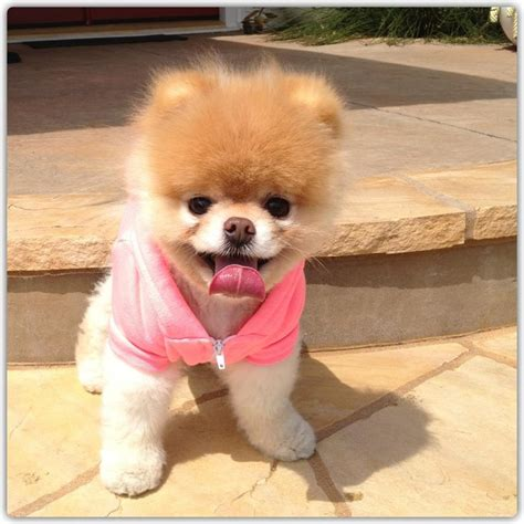 how to shave a pomeranian like boo live boo rip boo tweets were