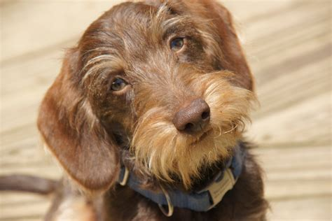 miniature haired dachshund puppies willow springs miniature wirehaired dachshunds yosemite sam