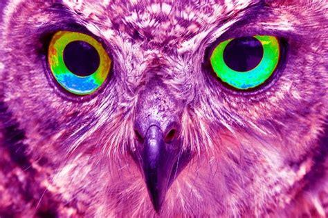Owl Purple purple owl owls