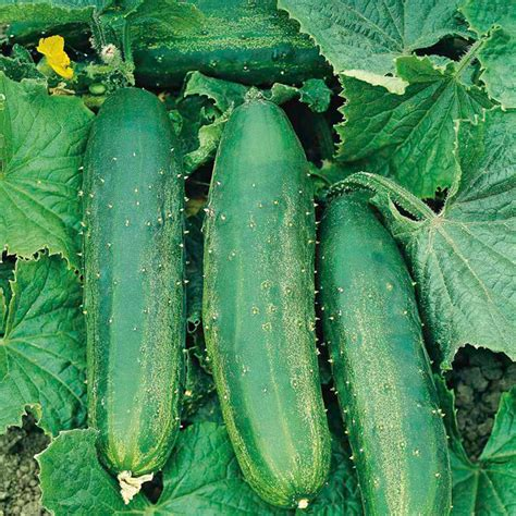 cucumber grafted plants bush chion all vegetable