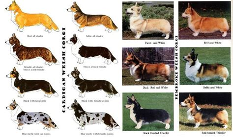 pembroke corgi colors pembroke corgi color genetics search