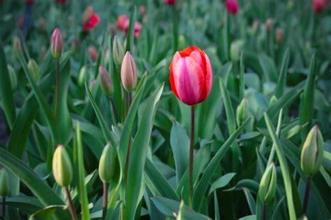 coltivare tulipani in vaso come coltivare tulipani 3 non sprecare