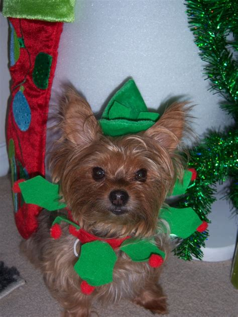 xmas tree with yorkies 16 best images about yorkies on puppys godmother and yorkie