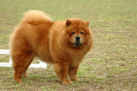 chow pictures chow chow informaci 243 n sobre la raza de perros chow chow