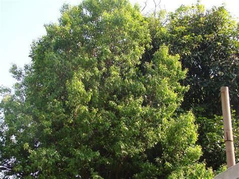 sandalwood tree india travel forum indiamikecom