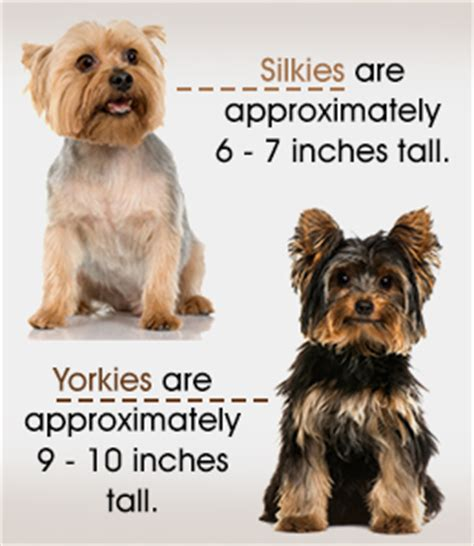 yorkie hair cut chart silky terrier vs yorkshire terrier analyzing the differences