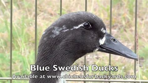 swedish blue blue swedish ducks for sale chickens for backyards youtube