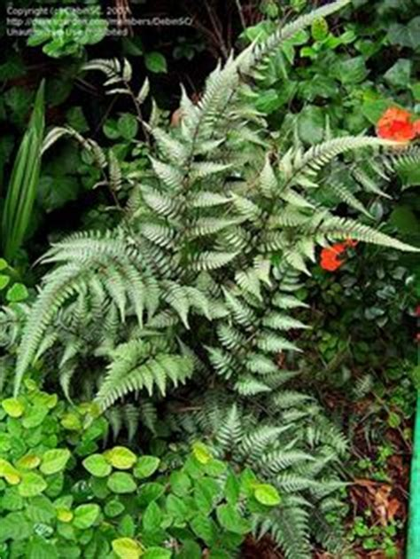 plants for north side of house 1000 images about plants north side of house on pinterest japanese painted fern