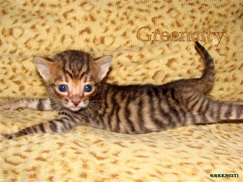 toyger cat the toyger wallpapers fun animals wiki videos pictures