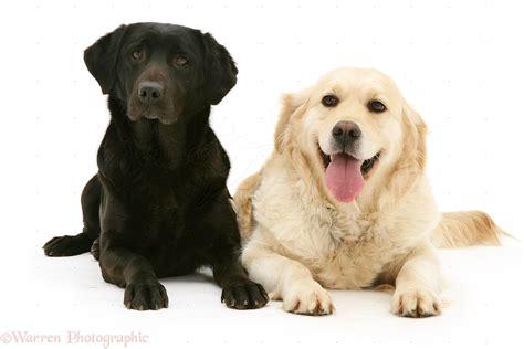 black golden retriever pictures dogs black labrador and golden retriever photo wp12395