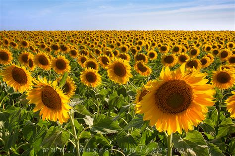 sunflower fields forever kansas city photographer texas sunflower afternoon 2 texas hill country images
