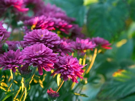 free flower images and stock photos free stock photo in high resolution mums flowers flowers