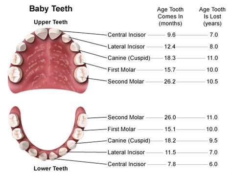 ages when baby teeth come in and fall out baby science inspiration the human teeth