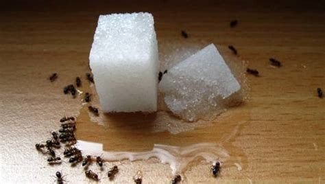 13 remedies for the ant