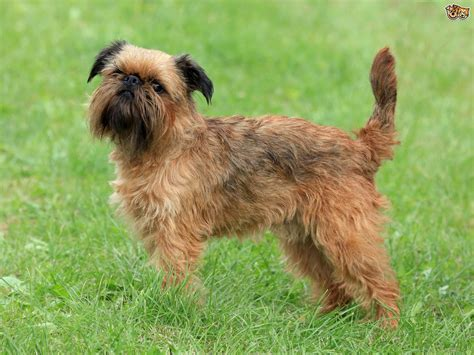 griffon breed griffon bruxellois breed information buying advice photos and facts pets4homes