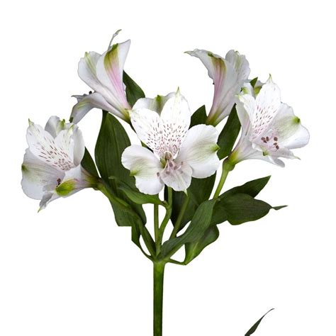 Premium Kitchen Faucets by Globalrose Fresh White Alstroemeria Flowers 100 Stems