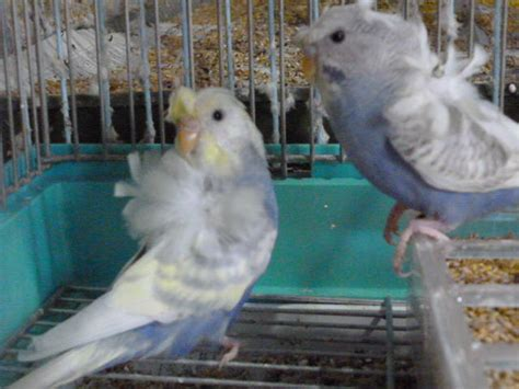 hagoromo budgerigars buy from free bird inc japan