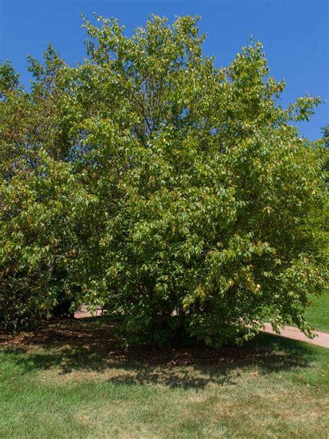 american hornbeam chicago botanic garden