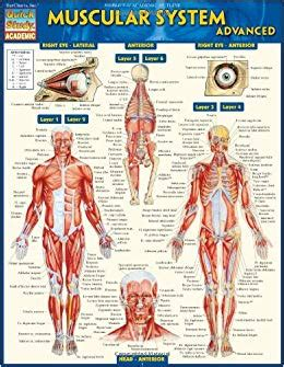 Muscular System Advanced Quick Study Academic Inc