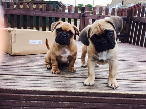 pug x bulldog puppies pug x bulldog puppies brighton east sussex pets4homes