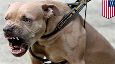 pitbull puppies ny pit bull attack aggressive pit bull dead after biting new york cop tomonews