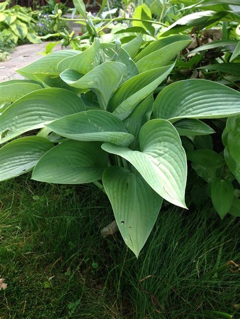 Vase Shaped Hostas by Hostas Forum What Is Your Favorite Large Quot Vase Shaped Quot Hosta Garden Org