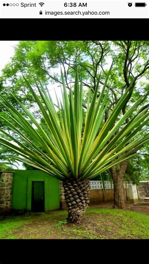 pin  lauren rouse  landscaping palm tree types palm