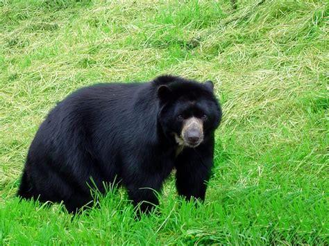 imagenes oso negro osos wallpapers hd resoluciones taringa
