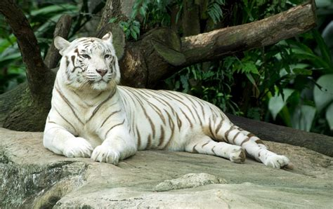 Tiger White here s revealing more about the habitat of white tigers
