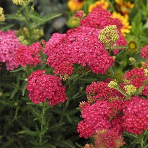 heat resistant plants pink yarrow achillea saucy seduction a heat and