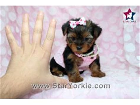 yorkie silky terrier for sale terrier puppies for sale tiny micro teacup yorkie puppies for sale in los
