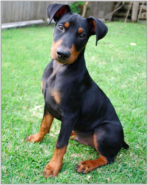 german pinscher puppies pin german pinscher dogs iams breed guide on