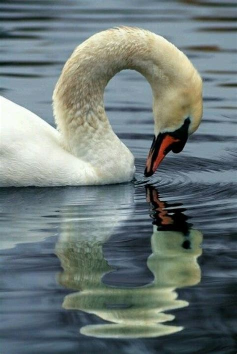 122 best images about kuşlar1 on birds bird 122 best images about swans on