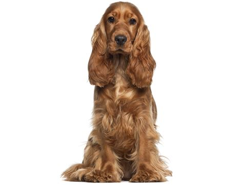 cocker spaniel poodle lifespan expectancy of 9 of america s most popular breeds