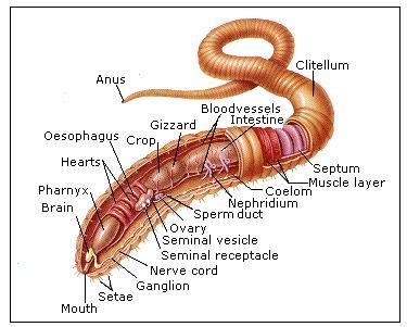 earthworm anatomy diagram earthworm dissection