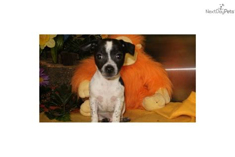 rat terrier chihuahua mix puppies for sale rat terrier puppy for sale near chicago illinois 9e950f55 ff91