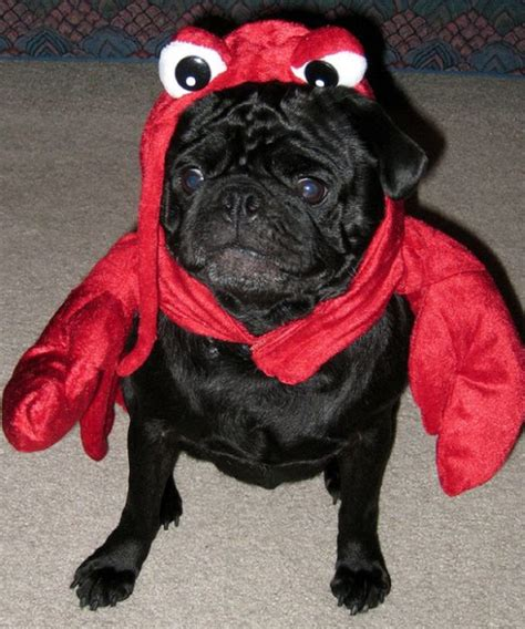 pugs in costumes sad pugs in costumes