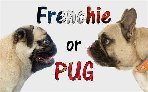 bulldog or pug bulldog or pug how to tell the difference dogaholic