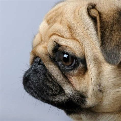 pug weenie puppies 17 best images about fav puppys on weenie dogs show and pug
