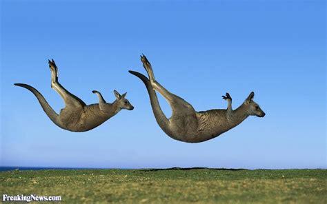 funny kangaroo pictures freaking news