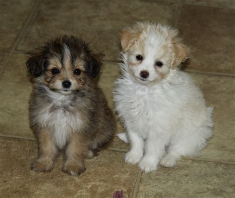poodle pomeranian and pomeranian x poodle puppies puppies for sale dogs for sale