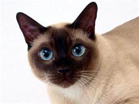 tonkinese colors tonkinese cat animals wiki pictures stories
