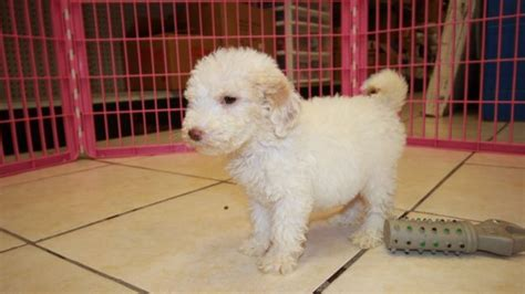 Lovely Goldendoodle Puppies For Sale In Atlanta