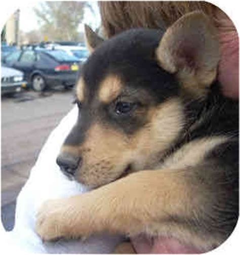 husky german shepherd mix puppies for adoption triplet puppies adopted puppy santa fe nm siberian husky german shepherd mix