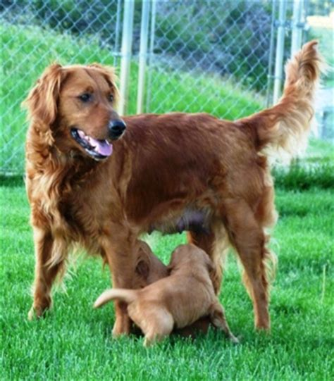 field golden retrievers what is a field golden retriever dogs our friends photo