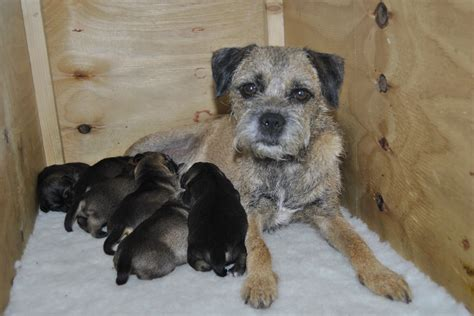 border terrier puppies for adoption beautiful border terrier puppies for sale norwich norfolk pets4homes