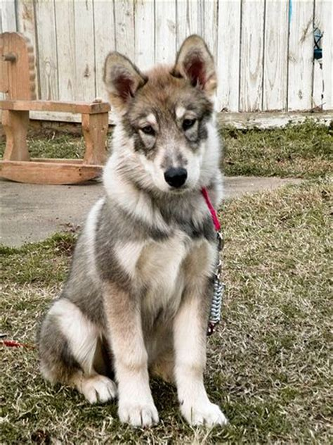 wolf hybrid puppy timber wolf alaskan malamute and wolves on